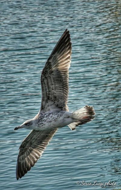 Seagull Bird Bird Of Prey Bird Spread Wings Flying Water Sea Life Sea Animal Themes Close-up