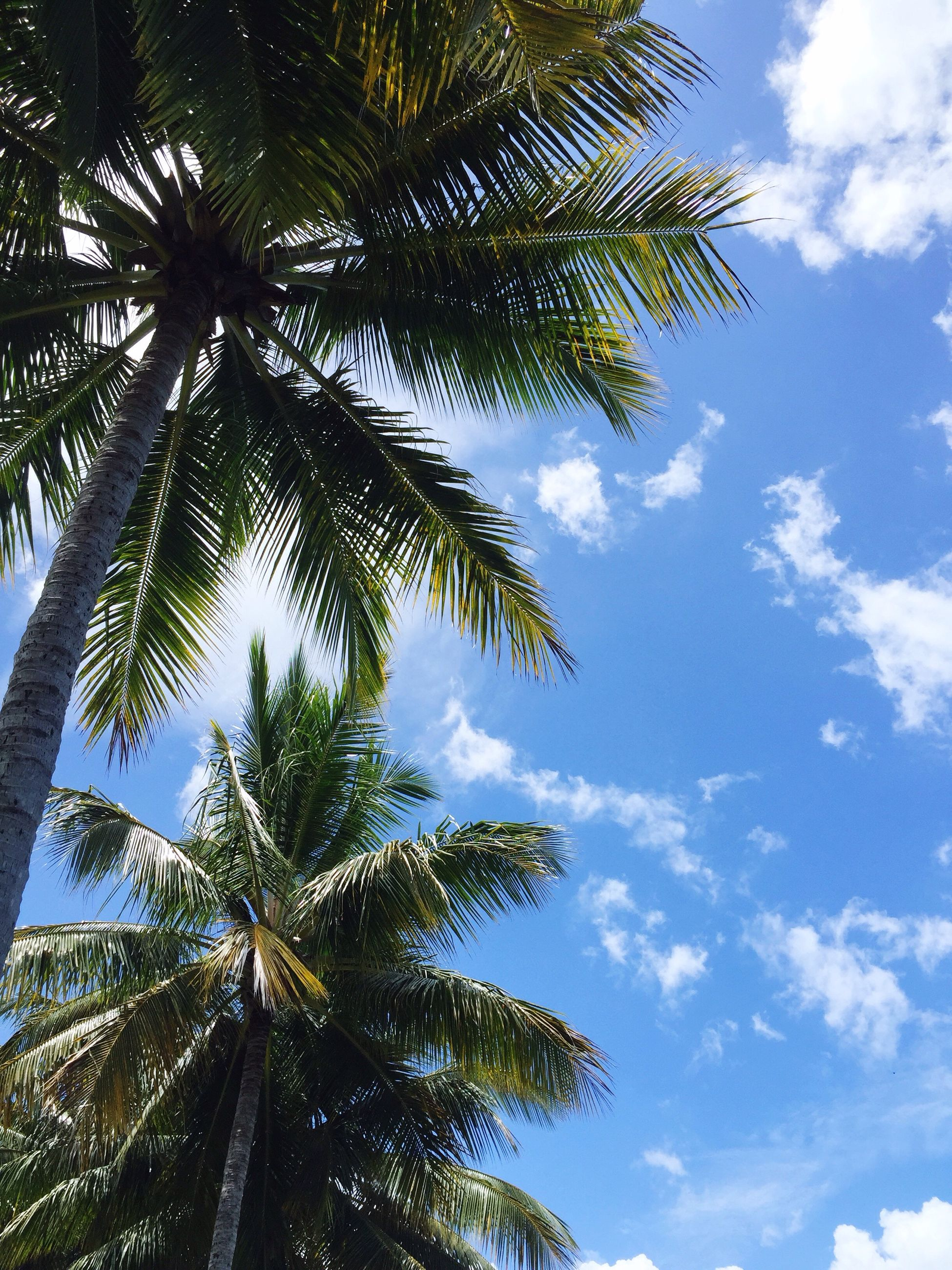 low angle view, tree, sky, palm tree, growth, cloud - sky, branch, nature, cloud, beauty in nature, cloudy, tranquility, tree trunk, tall - high, day, blue, scenics, outdoors, leaf, no people