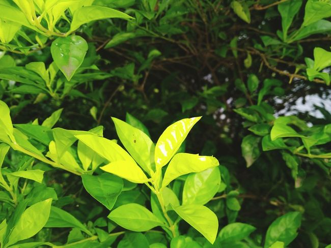 Fresh And Clean Rural Scene Leaves Show Plants Depth Of Focus Leaf Tree Social Issues Close-up Plant Green Color Plant Life EyeEmNewHere