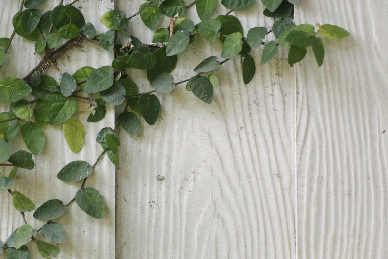 Close-up of ivy on white wall