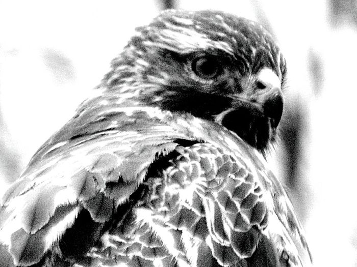 On My Balcony Buzzard  Auf Meinem Balkon Bussard  Blackandwhite Black And White Black & White Blackandwhite Photography Black And White Collection  Black And White Portrait Schwarzweiß Schwarz & Weiß Bird Vogel Birdwatching Bird Photography Birds_collection Showcase: February Birds Of EyeEm