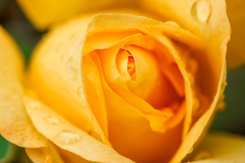 yellow rose Rose - Flower Flower Flower Head Yellow Yellow Flower Yellow Rose