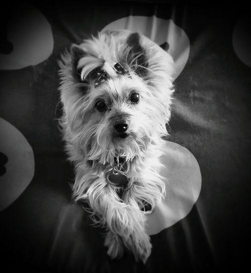 Silky Terrier Small Dogs Little Dogs Dog Pictures Cute Dogs Black And White Pictures Dogs One Animal Close-up Pets Wet Noses Domestic Dogs Animal Photography Fur Babies Domestic Animals Fur Friends Cute Pets Dog