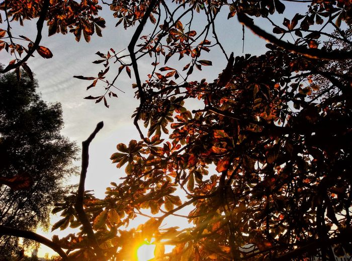 sunset in leaves 🌅 Minsk Belarus Autumn Tutbylive EyeEm Selects Tree Low Angle View Branch Growth Nature Beauty In Nature Outdoors No People Day Leaf Sky Freshness EyeEmNewHere