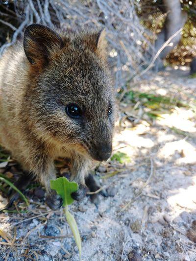 Quokka Quokkalove Rottnest Rottnest Island Perth Western Australia Australia Happy Happiest Animal One Animal Animal Wildlife Animals In The Wild Animal Themes Close-up Nature Outdoors No People Day