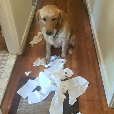 I ate the toilet paper while you were out, and I'm very very sorry! Dogshaming Dogshame Chasethegolden Goldenretriever Ieattoiletpaper Pica TOOCUTETOBEMAD Goldensofinstagram Ieateverything Doggiesforanthony AdoptDontShop Luckyyouanimalrescue Mydogisbetterthanyours