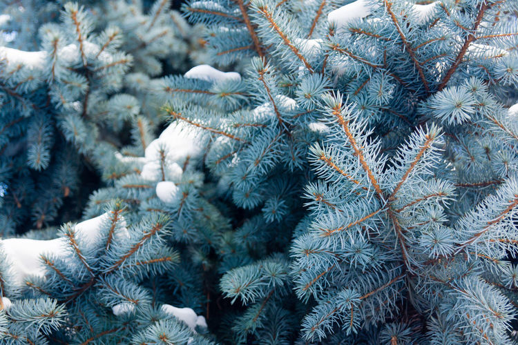 Close-up of christmas tree during winter