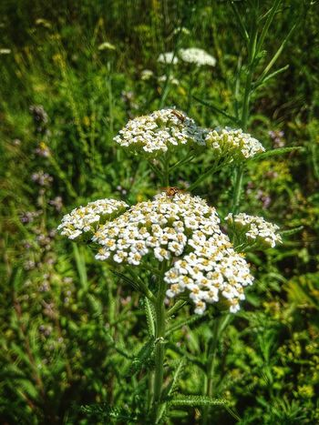 Nature Day Bee On The Flower Achillea Millefolium Photo Phone