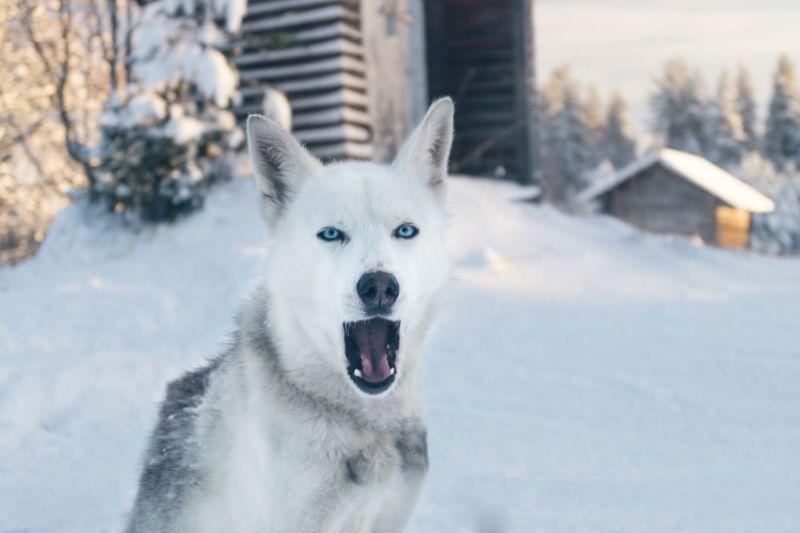 White husky One