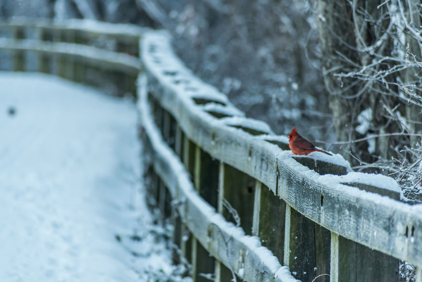Christmas Cardinal Cardinal Frozen Ice Maryland Animal Wildlife Animals In The Wild Bird Bold Cold Temperature Cufotos CufotosDOTcom Day Nature No People One Animal Outdoors Perching Red Snow Snowing Weather Winter