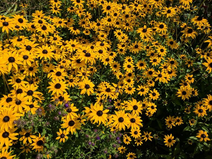 Flowers at the Zoo Flower Yellow Beauty In Nature Outdoors Nature Blooming Black-eyed Susan Syracuse  Syracuse Ny Rosamond Gifford Zoo