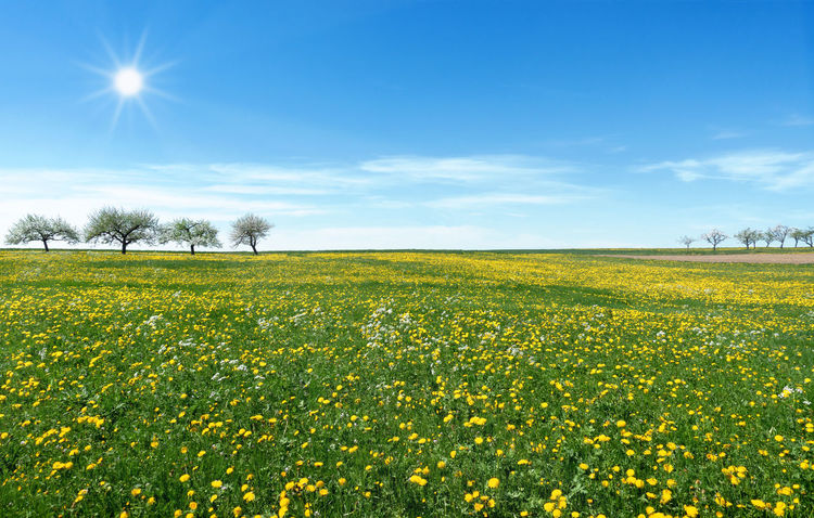 Large meadow with yellow blooming dandelion in the sunshine Field Flowers Flower Meadow Grass Green Nature Tree Bloom Blooming Blossom Blossoming  Countryside Dandelion Flower Idyllic Landscape Large Many Meadow Row Of Trees Season  Spring Spring Meadow Springtime Sun Yellow