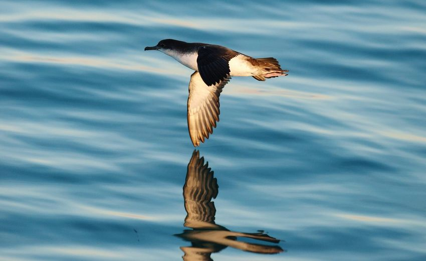 Shearwater flying over the sea