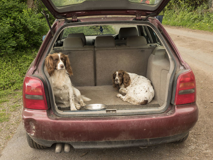 Car Car Boot Dog Shelter Dogs Hunting Springer Spaniels Waiting Watchful
