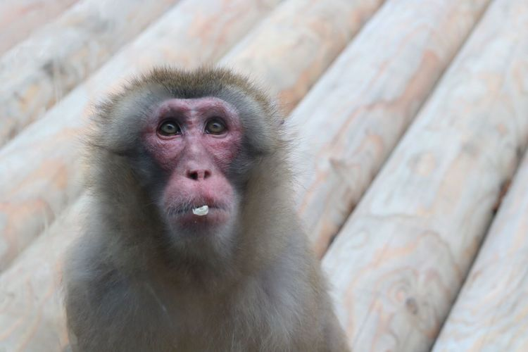 Mammal Monkey One Animal Animal Themes Animals In The Wild Animal Wildlife Portrait Looking At Camera Day No People Close-up Japanese Macaque Nature Outdoors