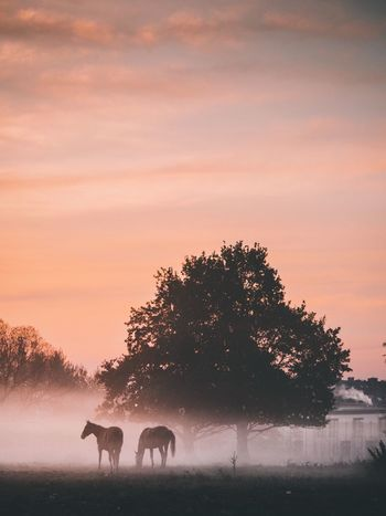 Sunset Tree Nature Animal Themes Mammal Animals In The Wild Field Silhouette Outdoors Sky Grazing No People Scenics Landscape Grass Domestic Animals Beauty In Nature Day