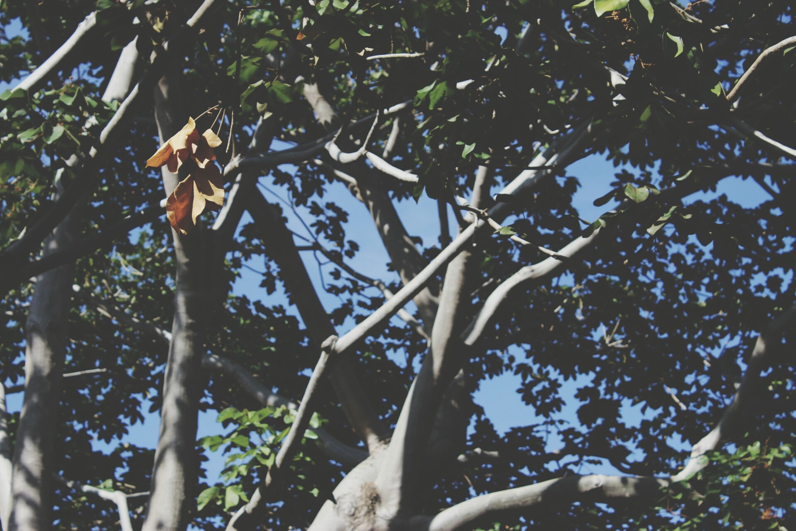 tree, branch, low angle view, growth, leaf, nature, tree trunk, tranquility, sunlight, beauty in nature, day, outdoors, no people, green color, clear sky, forest, plant, sky, close-up, growing