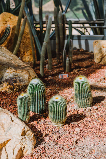 Still Life Succulent Plant No People Cactus Day Plant Nature Growth Green Color Barrel Cactus Land Outdoors High Angle View Field Close-up Potted Plant Thorn Beauty In Nature Rock Solid Spiked Rock - Object Desert Desert Plants
