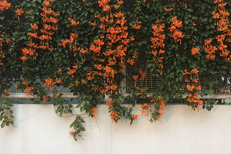 Orange Wisteria Plant On Building