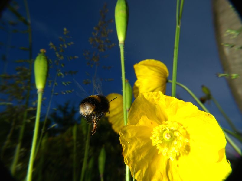Bumble bee and yellow poppy Bumble Bee Bumblebee Beauty In Nature Bee Bombus Terrestris Flower Flower Head Flowering Plant Growth Invertebrate No People Outdoors Petal Plant Pollination Poppy White-tailed Bumblebee Yellow