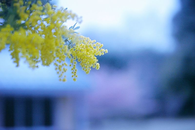 Cloudy sky too. 今日も曇り空。 Hello World Cloudy Sky Cloudy 曇り空 ミモザ Mimosa EyeEm Nature Lover Spring Colours Spring 春 Colors Bokeh Japan Airy Flowers Hazy  Dreamfantasy Yellow Flower Blue Blue Hour Airy