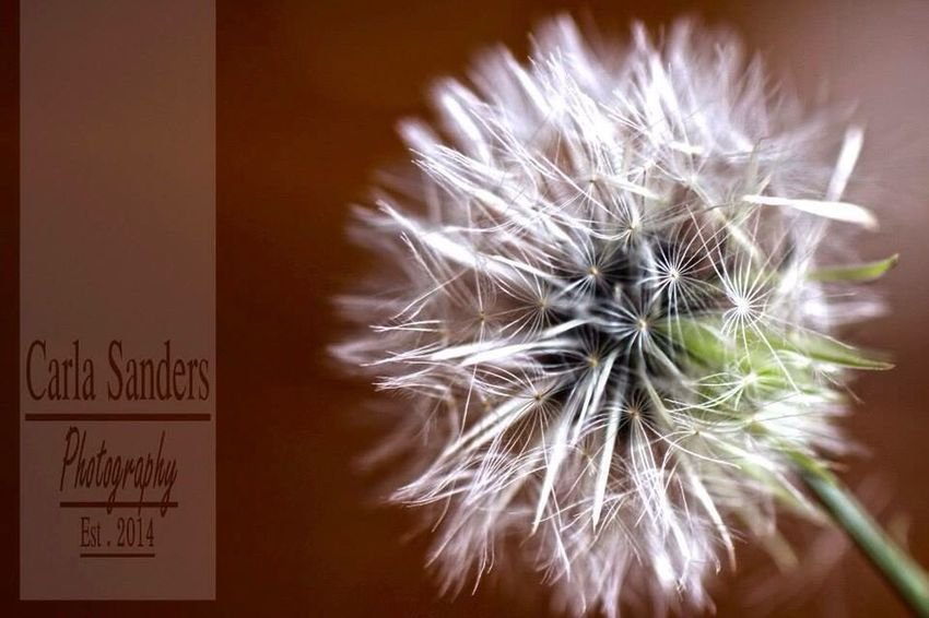 Dandelion Macro Nature Macro_collection Macro Photography Photography Love Life