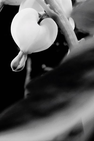 Welcome To Black Flower Crying Heart Heart Close-up Flower Head Nature EyeEmNewHere Closeup Black Background Black Blackandwhite Black And White Photography Blackandwhite Photography Black & White Plant Plants 🌱 Beauty In Nature Backgrounds Beauty In Nature Poster Night Photography EyeEm Flower Flower White