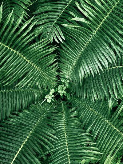 Green fern,