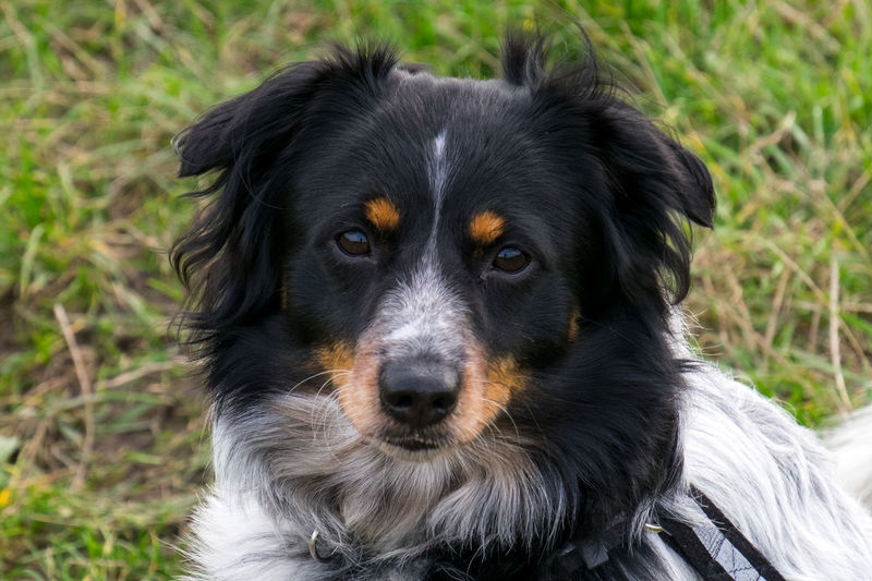 Bohemian Spotted Dog! Bohemian Spotted Dog Cute Pet Doggie Love Horak's Laboratory Dog Horakuv Laboratorni Pes Animal Themes Close-up Cute Dog  Day Dog Domestic Animals Focus On Foreground Grass Looking At Camera No People One Animal Outdoors Pets Portrait