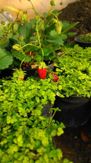 Mobile Photography Htc One M8s Colorful Flowers Strawberry