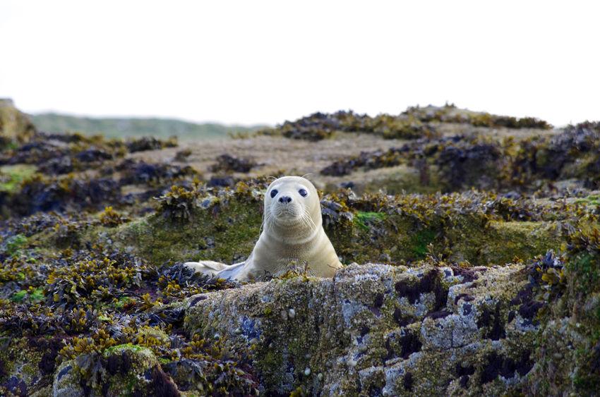 Animal Animal Themes Animal Wildlife Animals Animals In The Wild Baby Seal Coast Coastline Day England Farne Islands Nature No People Northumberland One Animal Outdoors Rocks Seal Sky Wildlife Wildlife & Nature Wildlife Photography