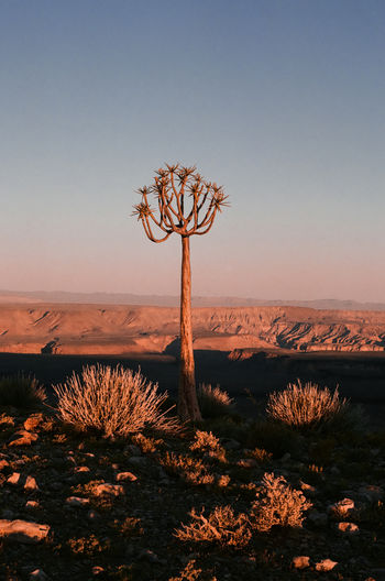 35mm Film Analogue Photography Namibia Sunset_collection Travel Beauty In Nature Clear Sky Desert Environment Horizon Over Land Nature No People Non-urban Scene Outdoors Plant Remote Scenics - Nature Sky Sunset Tree