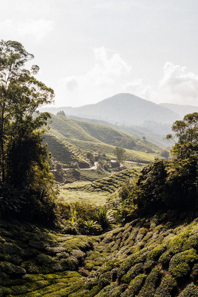 Growth Nature Sunlight Beauty In Nature Blue Sky Day Environment Land Landscape Landscapes Mountain Mountain Range Nature No People Outdoors Plant Rolling Landscape Scenics - Nature Sky Tea Plant Tea Plantation  Tea Plantation Terrace Tranquil Scene Tranquility Tree