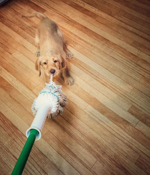 I WILL MOP FOR YOU! Mopping Labradoodle Chores Housework Puppy