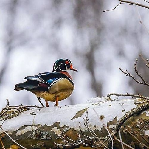 The Woodduck has to be my favorite duck. The colors on them are beautiful 🙂 Naturephotography Show_us_nature Ducksunlimited Ducks Ig_discover_wildlife Jr_lovebirds Waterfowl Beautiful Colorful Bestbirdshots Nature Wildlife Birdingphotography