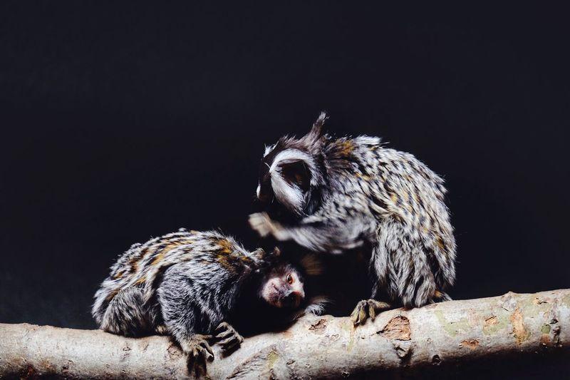 Close-Up Of Monkeys On Branch Against Black Background