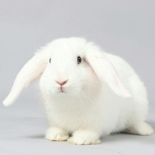 Rabbit against white background