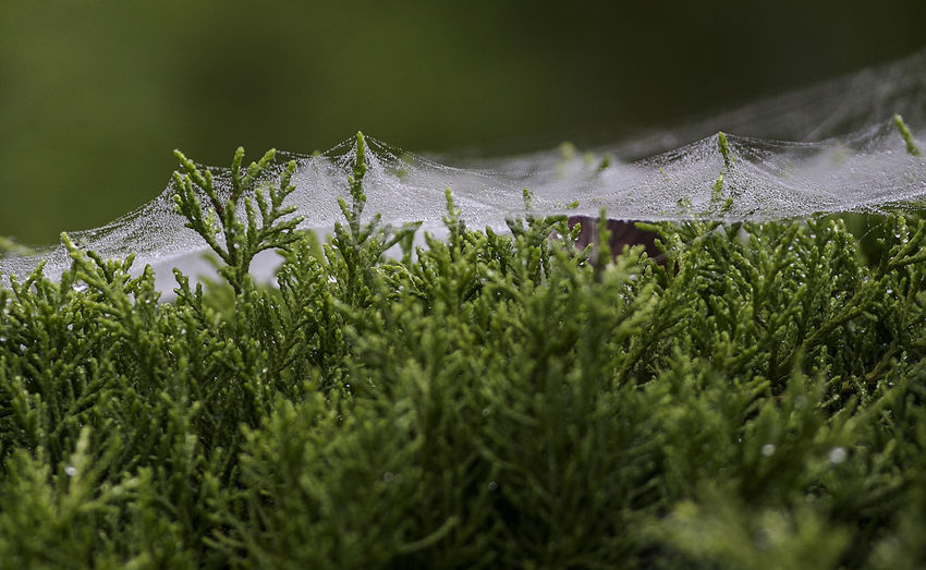 Misty weave After The Rain Stopped Beauty In Nature Cobwebs Covered Dew Grass Green Color Land Leaf Misty Morning Nature Net Plant Plant Part Spiders Webs Water Web Wet Flowers Woven