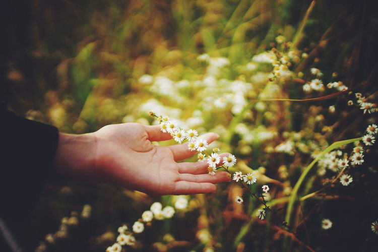Cropped Hand Of Person Touching White Flowers At Yard
