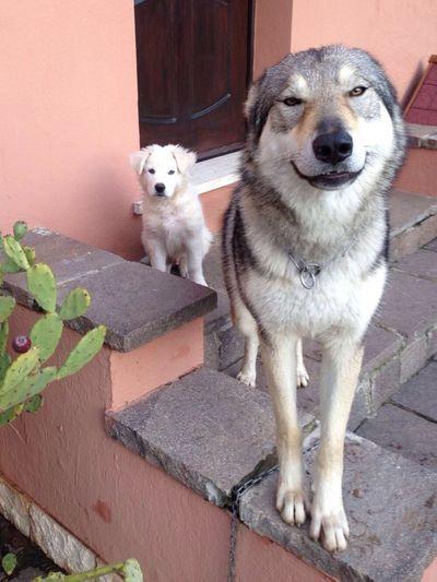 Its a dogs world! Mango Puppy White Dog Dog Crazy Moments Crazy Dog Am I Cute Yet? Whats Up Helloooooo Maremmano Pastore Abruzzese