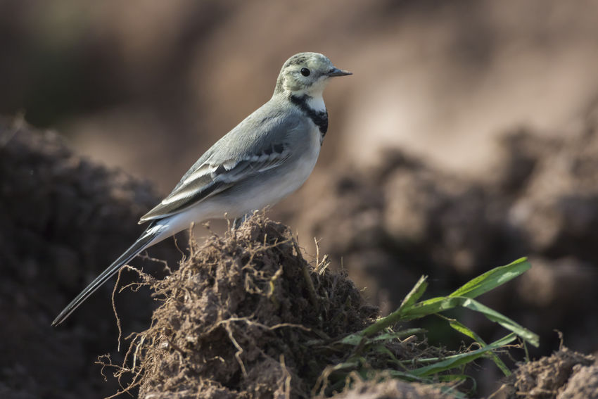 A white wagtail is searching for fodder Motacilla Alba Nature Songbird  Animal Animal Themes Animals Animals In The Wild Bird Birds Birds World Birdslife Day Landscape Nature No People Outdoors Outdoors Photograpghy  Singing Bird Wagtails White Wagtail Wildlife