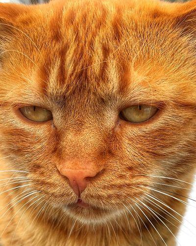 Redcat Cat Feline Portrait Domestic Cat Close-up Mammal One Animal Pets Looking At Camera Domestic Animals Domestic Body Part Animal Eye Animal Body Part