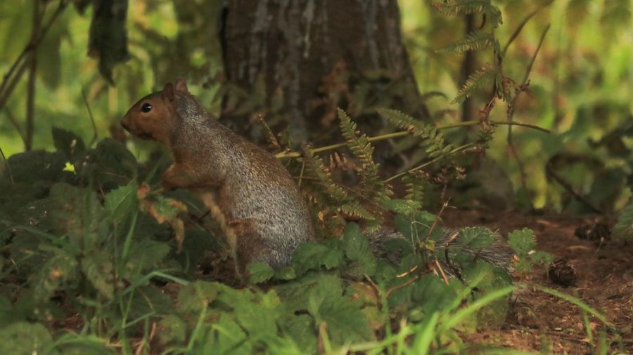 Animal Animals In The Wild Animal Wildlife Animal Themes Plant One Animal Tree Nature No People Land Vertebrate Rodent Day Mammal Focus On Foreground Squirrel Green Color Side View Forest Outdoors