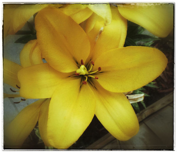 Lilies. Flowers Iphone 5 Project 365 Photo Of The Day Photography