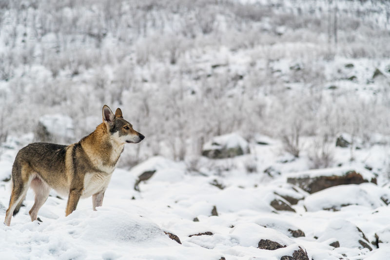 View of a wolf on snow covered field