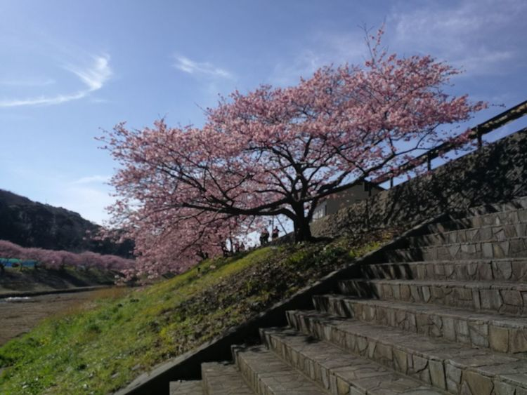 Cherry Blossoms Japan Sakura Trees Cherry Tree Freshness Izu Kawazu-zakura Sakura Blossom Sakura Tunnel Shawdow Of Tree Shizuoka Spring