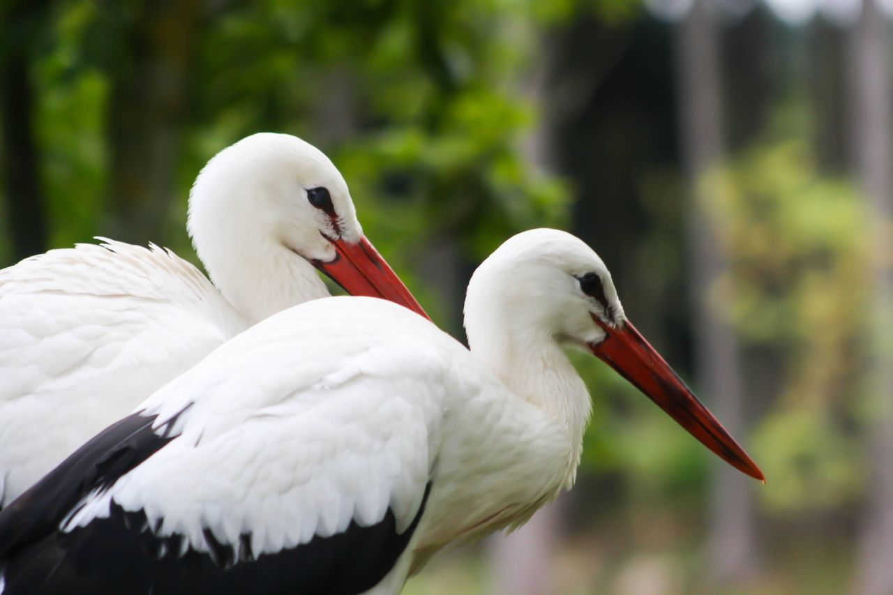 Close-Up Of White Storks