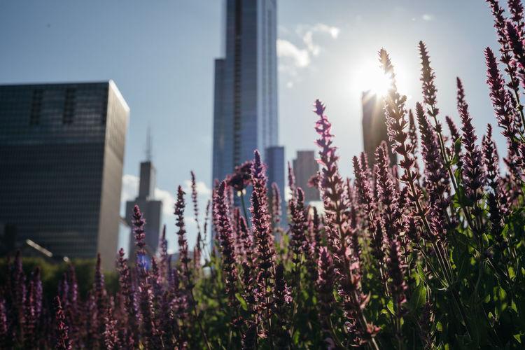 Purple flowering plants against buildings