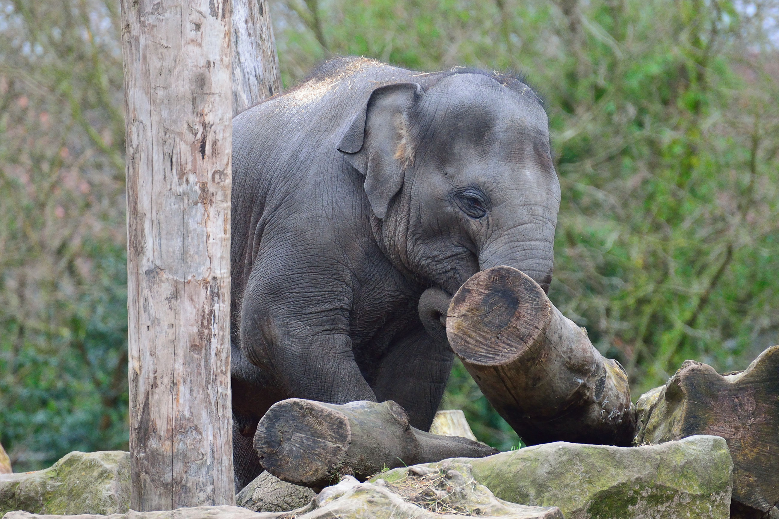 animals in the wild, wildlife, animal themes, tree trunk, one animal, mammal, focus on foreground, elephant calf, resting, nature, outdoors, safari animals, endangered species, zoology, looking at camera, zoo, animal head, day