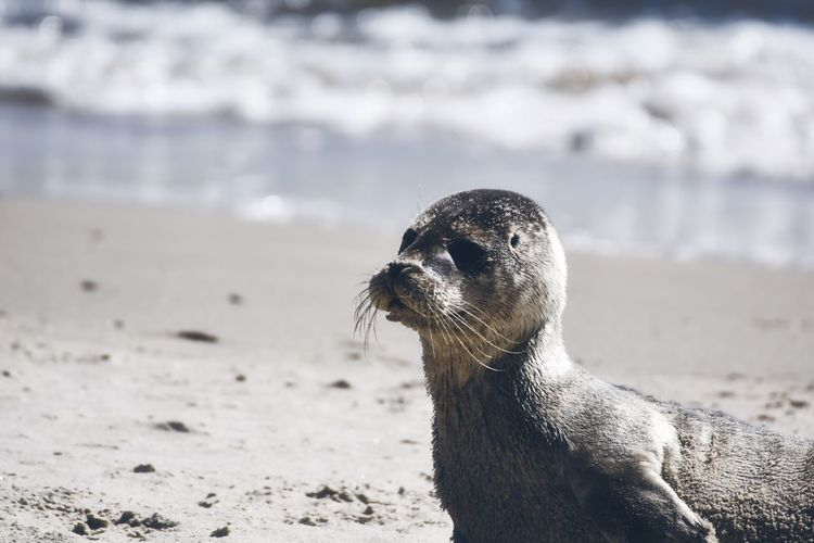 Close-up of a young seal